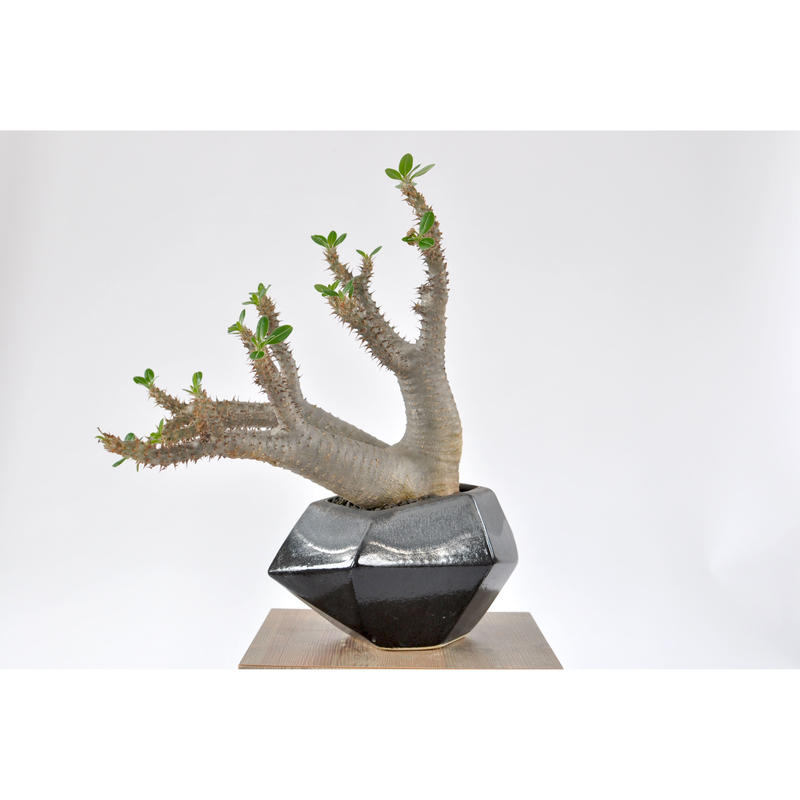 Pachypodium makayense 3103182
