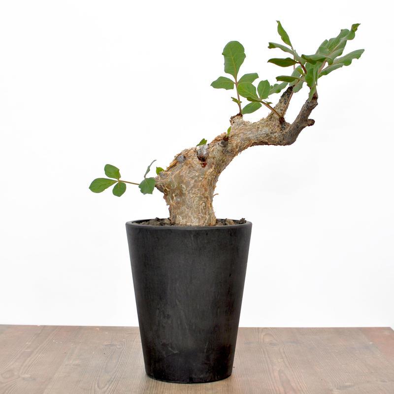 Commiphora guidotti 3008312