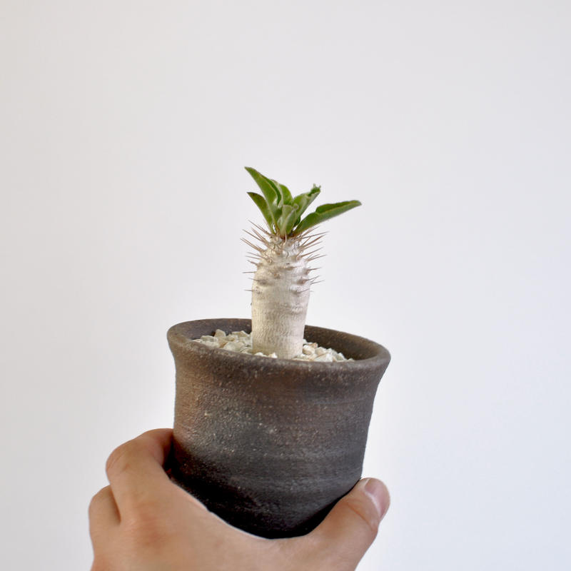 Pachypodium lealii   seedling