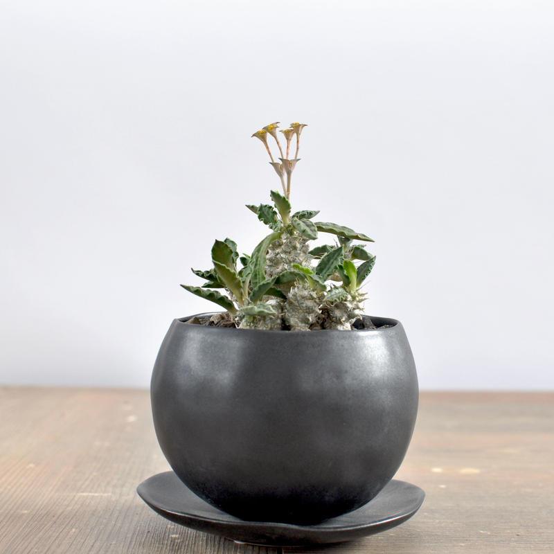 Euphorbia tulearensis 3009122
