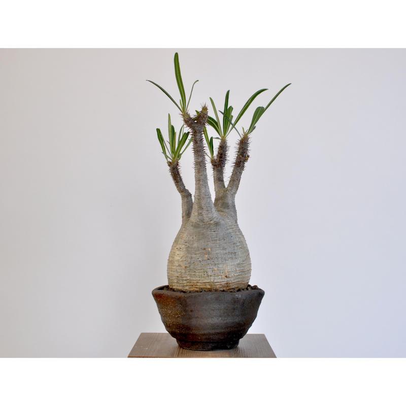 Pachypodium rosulatum var. gracilius  0106042