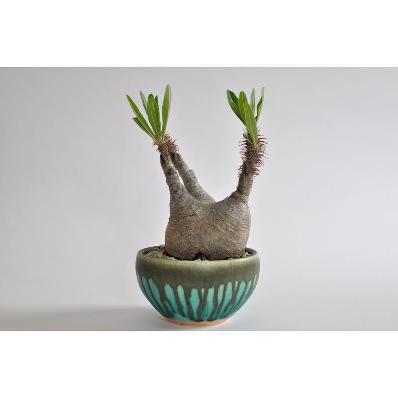 Pachypodium rosulatum var. gracilius     no.0106272 × Tomoharu Nakagawa植木鉢