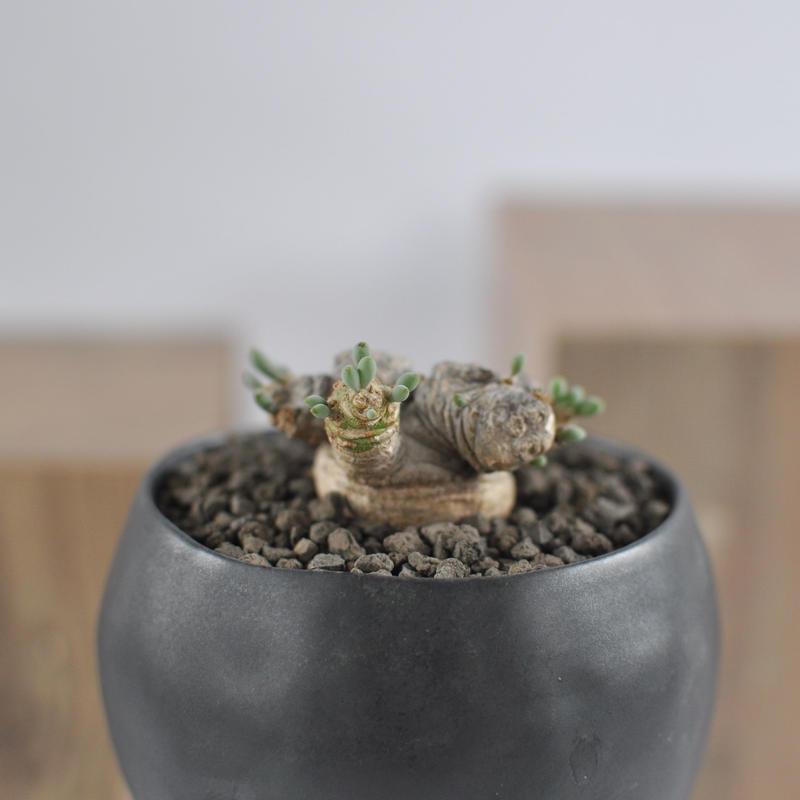 Othonna clavifolia 3012141