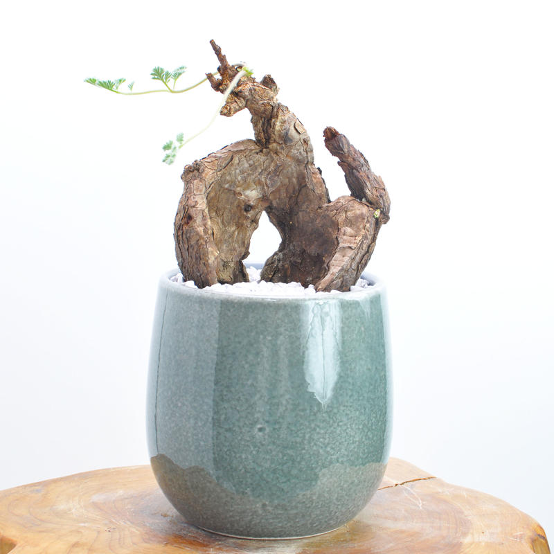 Pelargonium triste no.1