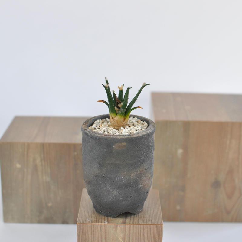 Ariocarpus agavoides アガベ牡丹   3012262