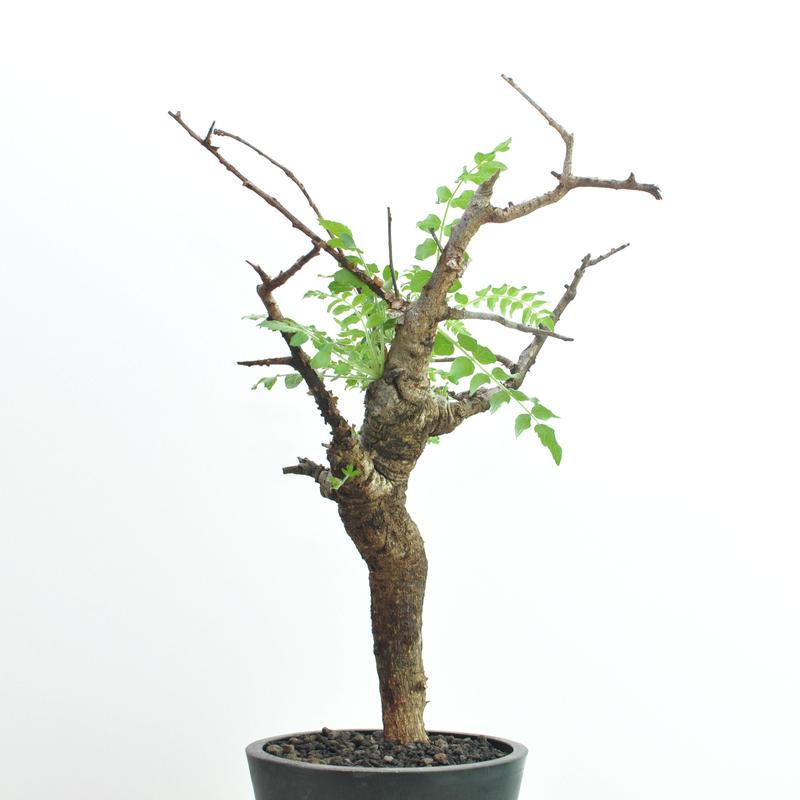 Boswellia neglecta no.2