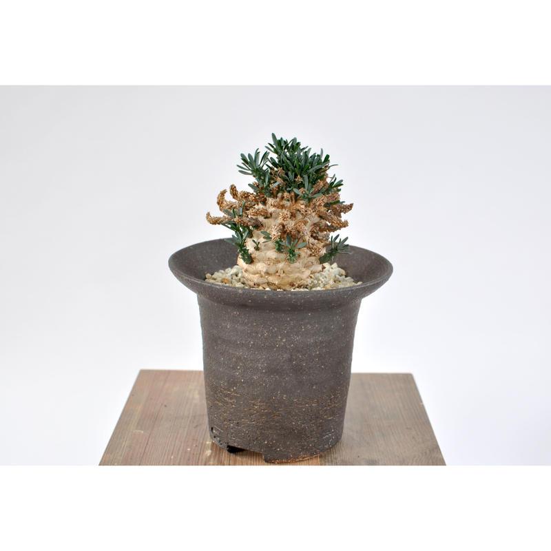 Euphorbia ramiglans