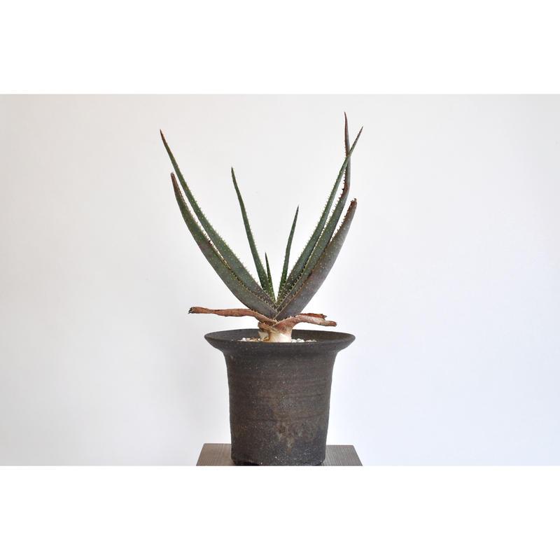 Aloe argyrostachys