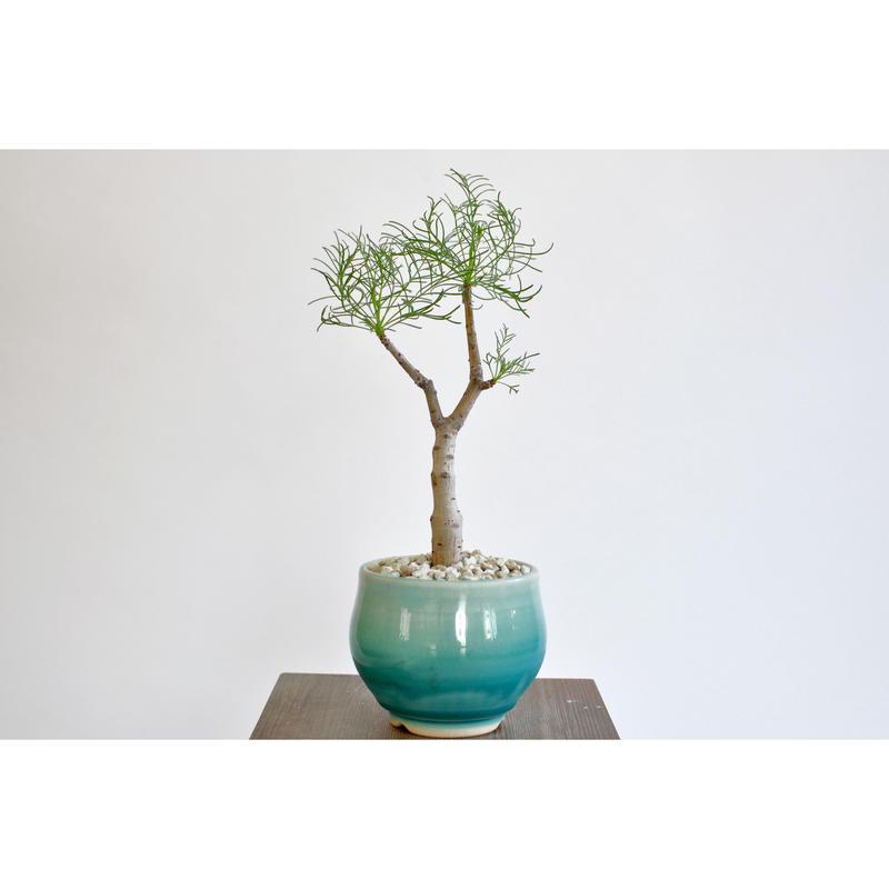 Commiphora kraeuseliana × Tomoharu Nakagawa植木鉢