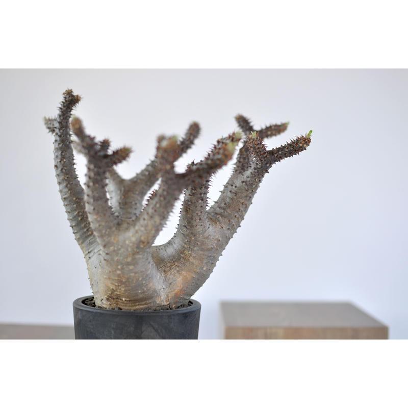 Pachypodium makayense 3103181