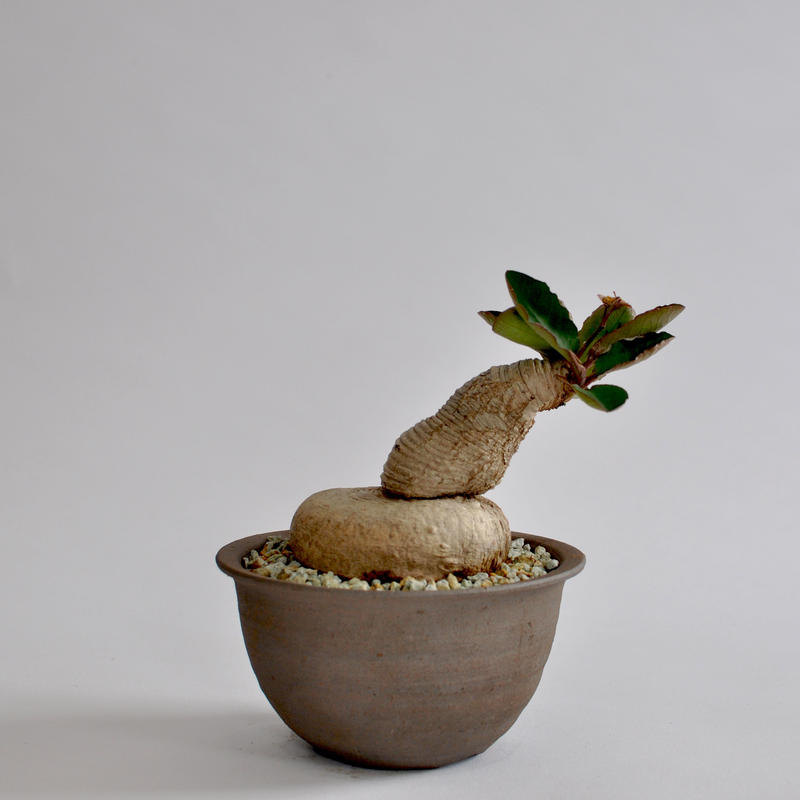 Euphorbia primlifolia
