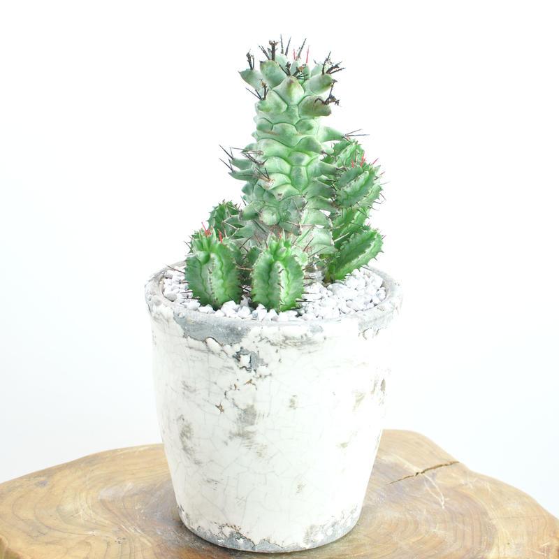 Euphorbia horrida f.monstrosa