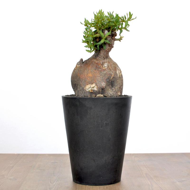 Pachypodium bispinosum 1