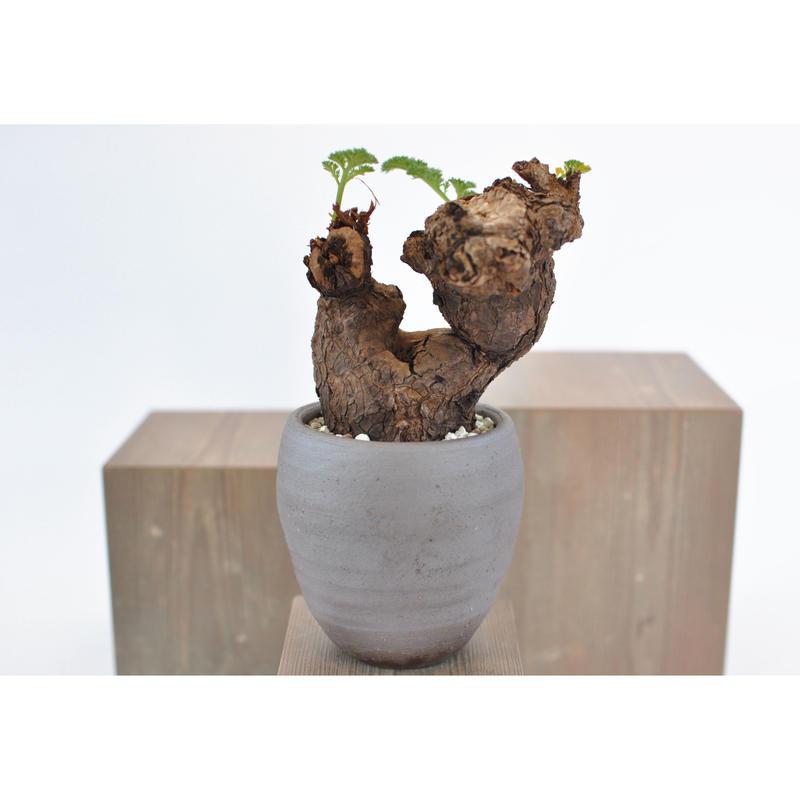 Pelargonium triste    3102283