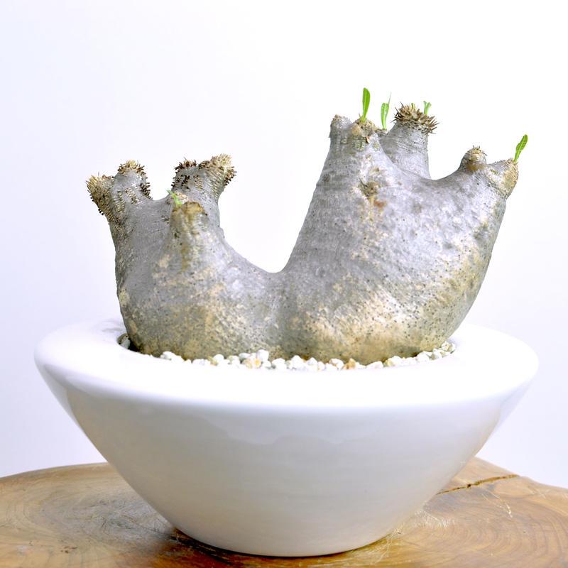 Pachypodium rosulatum var. inopinatum