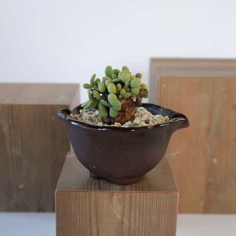 Ceraria pygmaea   3011161