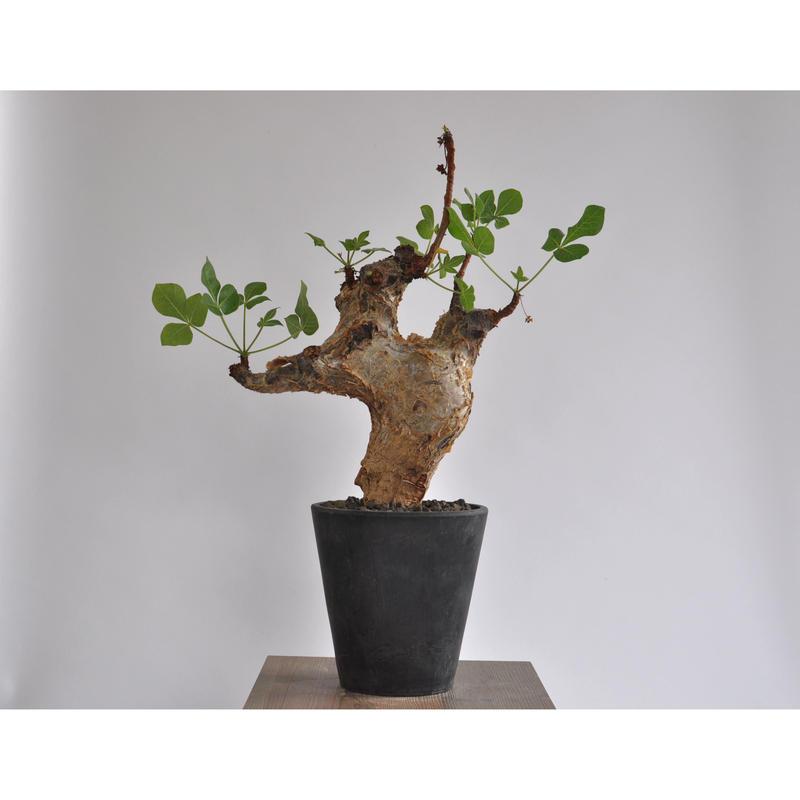 Commiphora guidotti   0105081