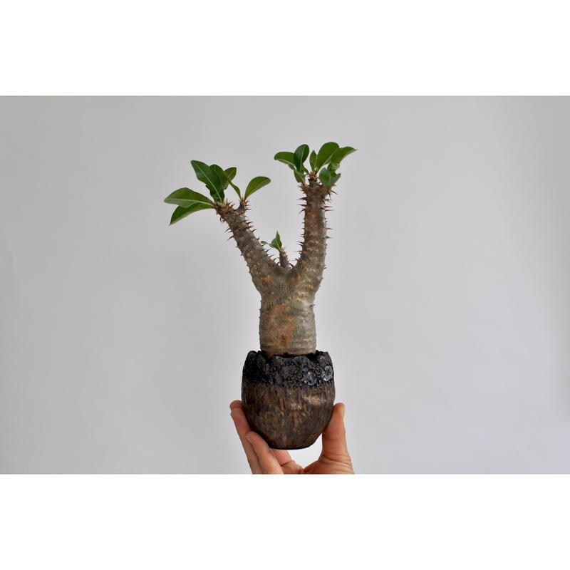 Pachypodium makayense     no.0106272 × Tomoharu Nakagawa植木鉢