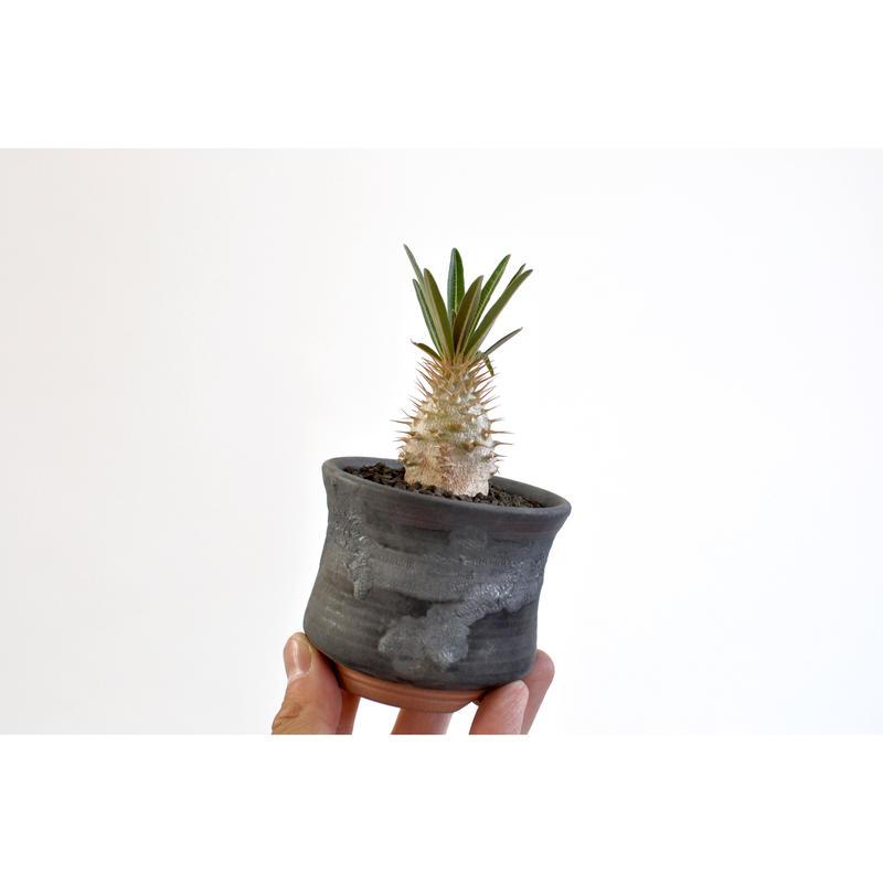 Pachypodium rosulatum var. gracilius   seedling ×Tomoharu Nakagawa植木鉢
