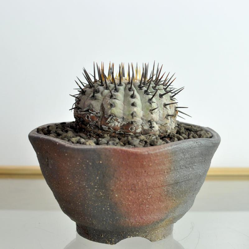 孤竜丸 Copiapoa cinerea var.columna-alba
