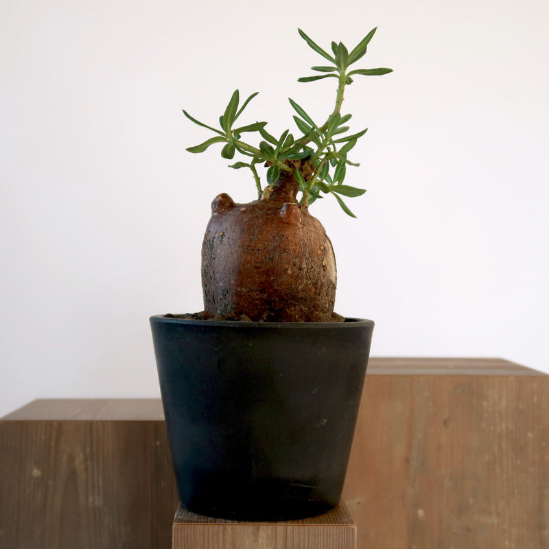 Pachypodium bispinosum   3011164