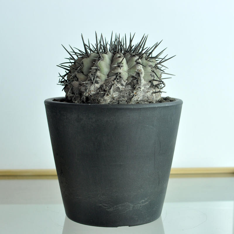 黒王丸 Copiapoa cinerea no.1
