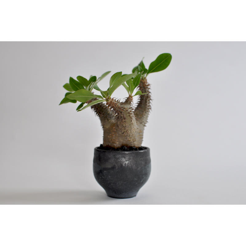 Pachypodium makayense     no.0106271 × Tomoharu Nakagawa植木鉢