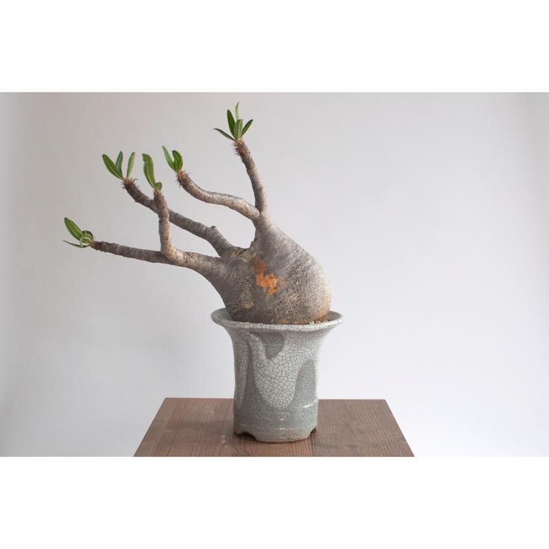 Pachypodium rosulatum var. gracilius   0105084