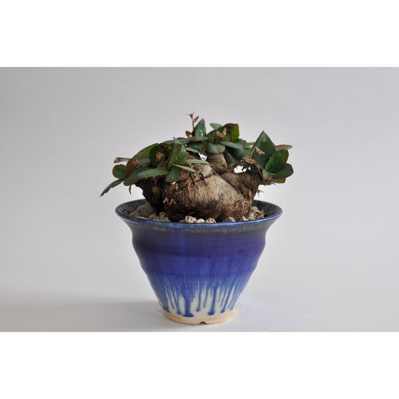Euphorbia.sp nova ranohira × Tomoharu Nakagawa植木鉢