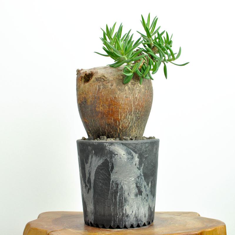 Pachypodium bispinosum 300824C