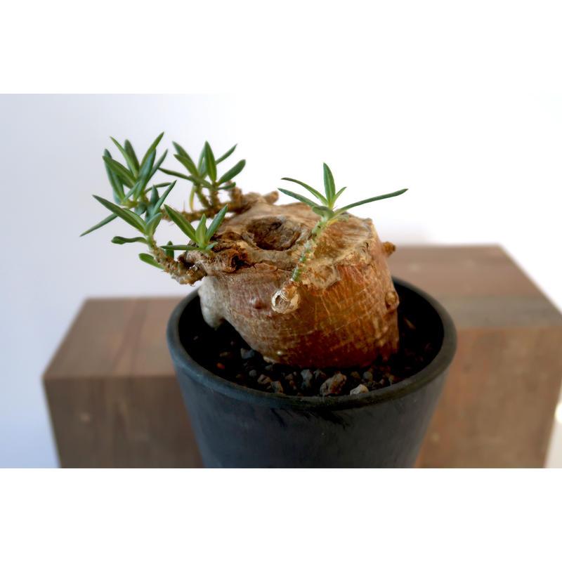 Pachypodium bispinosum    3011163