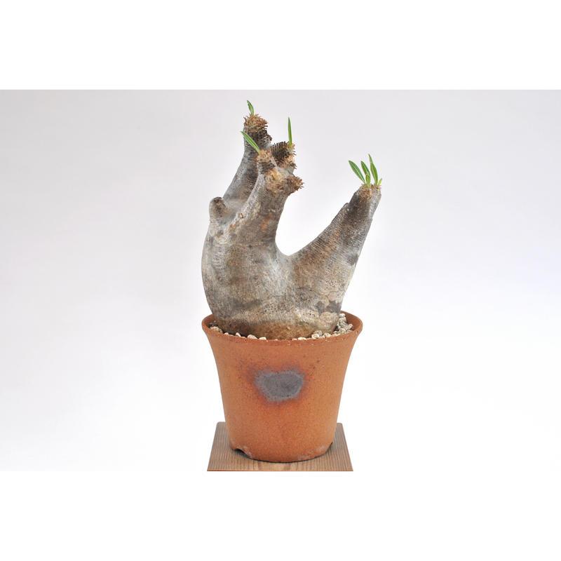 Pachypodium rosulatum var.inopinatum
