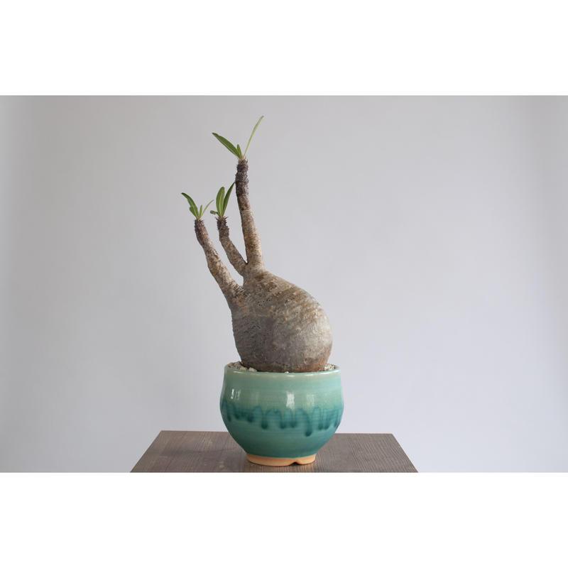 Pachypodium rosulatum var. gracilius×Tomoharu Nakagawa植木鉢