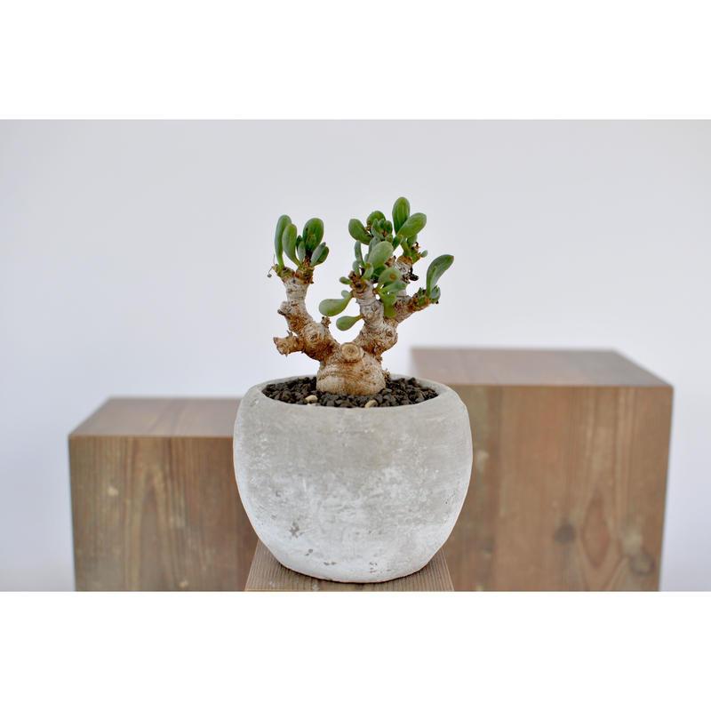 Othonna clavifolia   3012261
