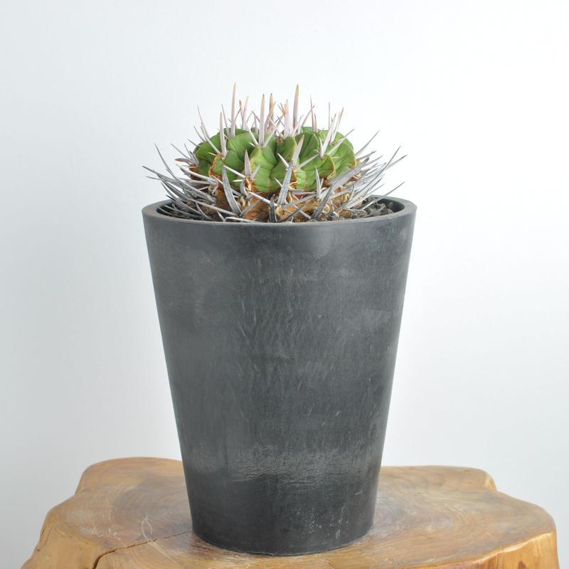 Echinofossulocactus coptonogonus 竜剣丸