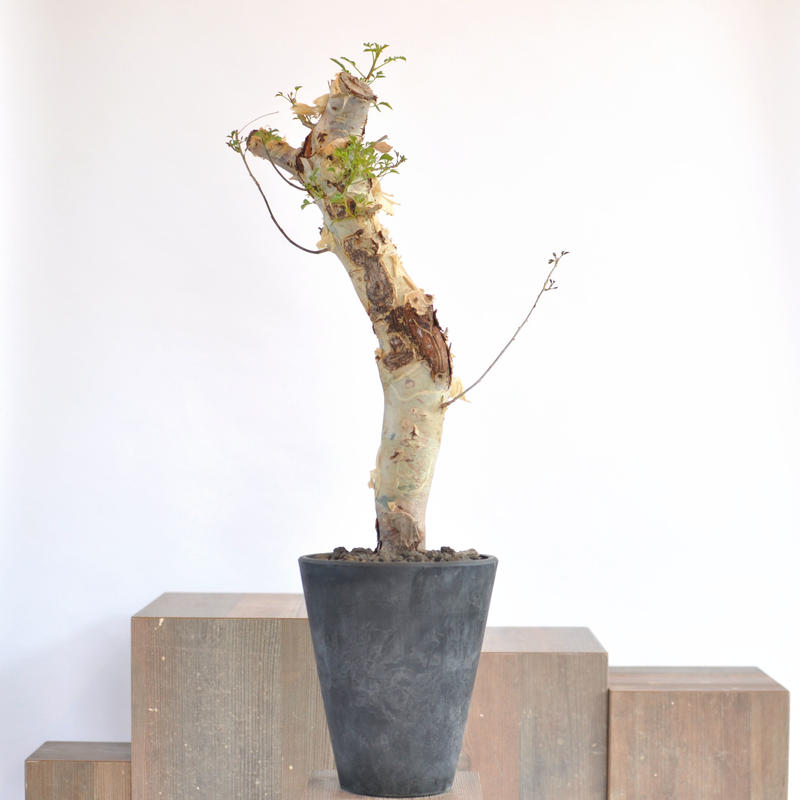Commiphora kataf var. turkanensis   3104151