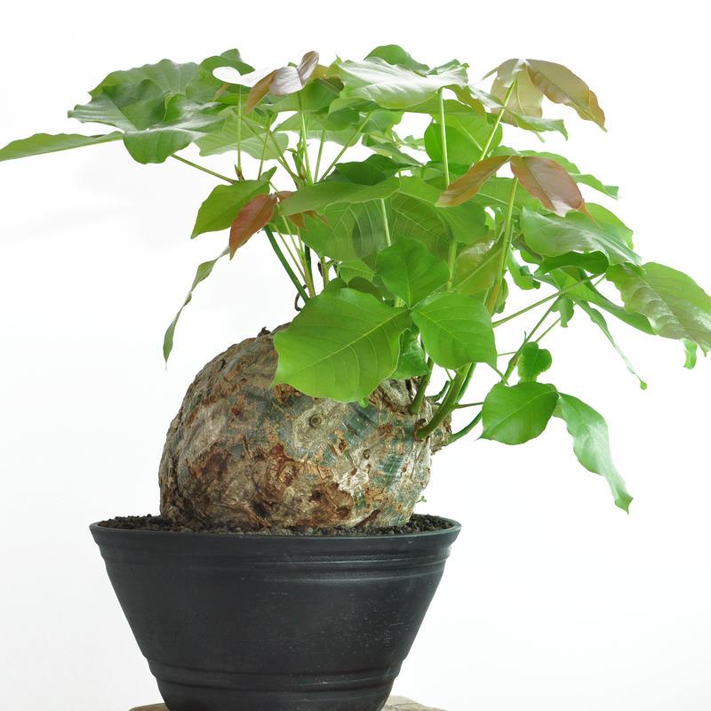 Pseudobombax ellipticum no.4