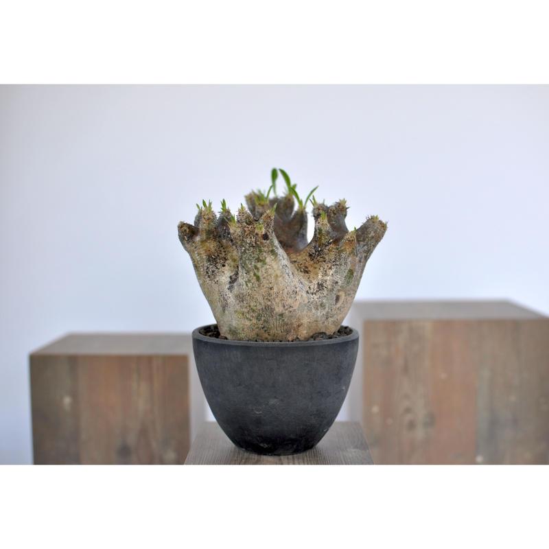 Pachypodium rosulatum var. inopinatum 3103182