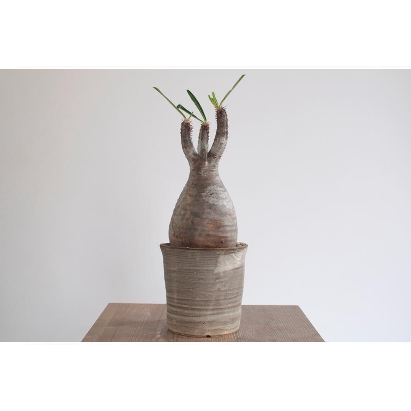 Pachypodium rosulatum var. gracilius   0105081