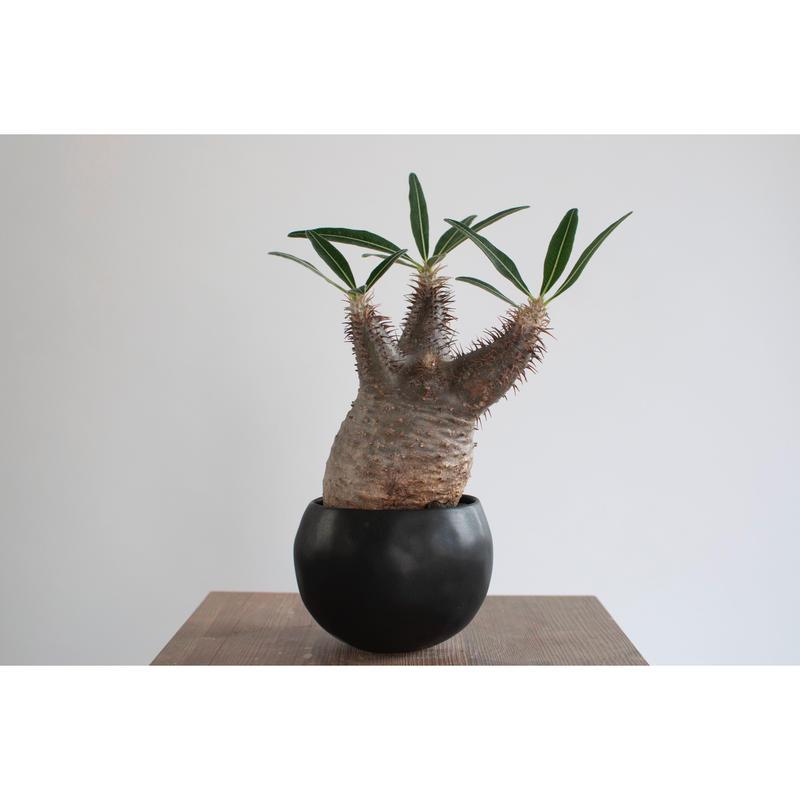Pachypodium rosulatum var. gracilius   0105082