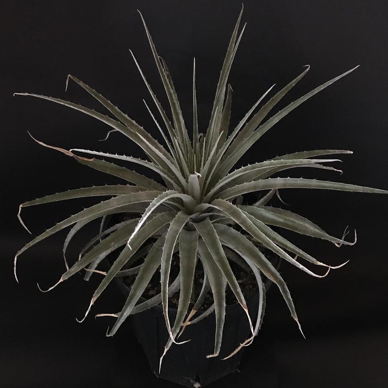 プヤ セルーレア  Puya coerulea var. coerulea