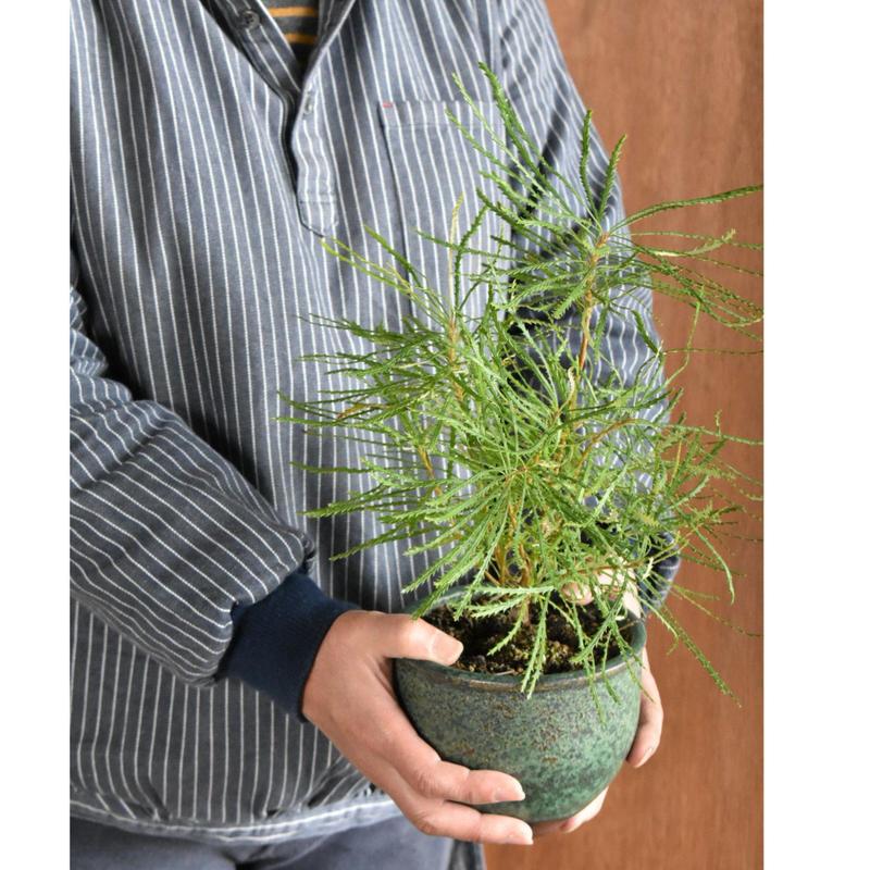 ヘアピンバンクシア  伝市鉢 サクラソウ型