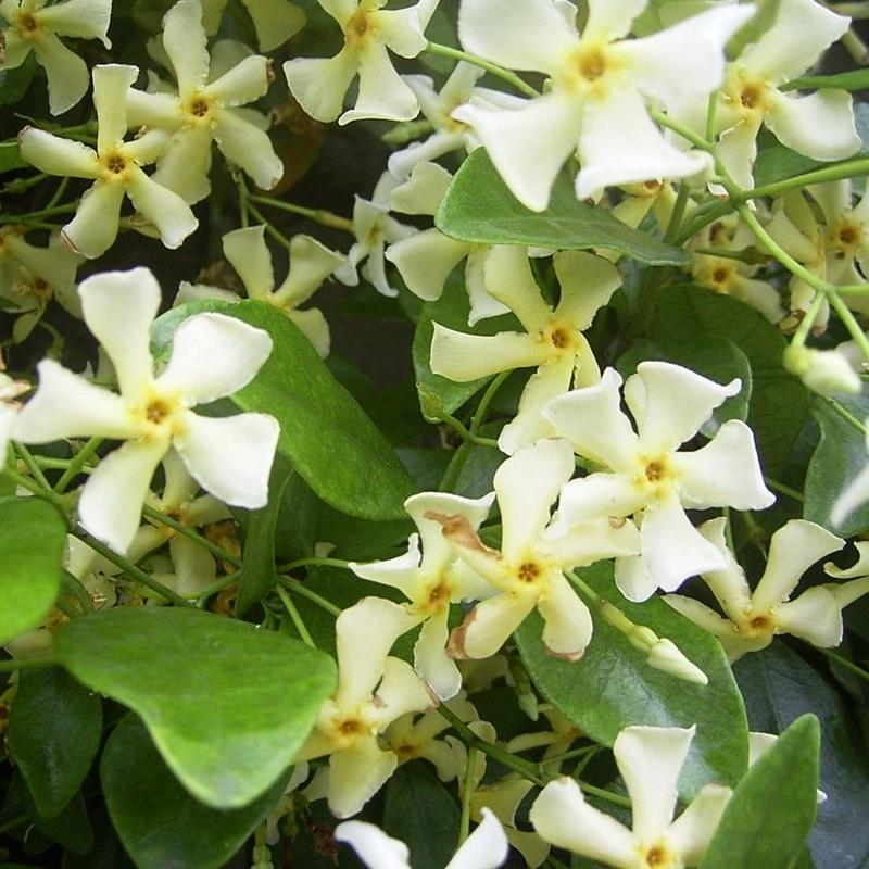 癒し・浄化の香り… ジャスミン茶