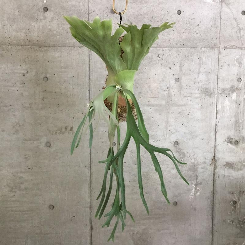 Platycerium willinckii