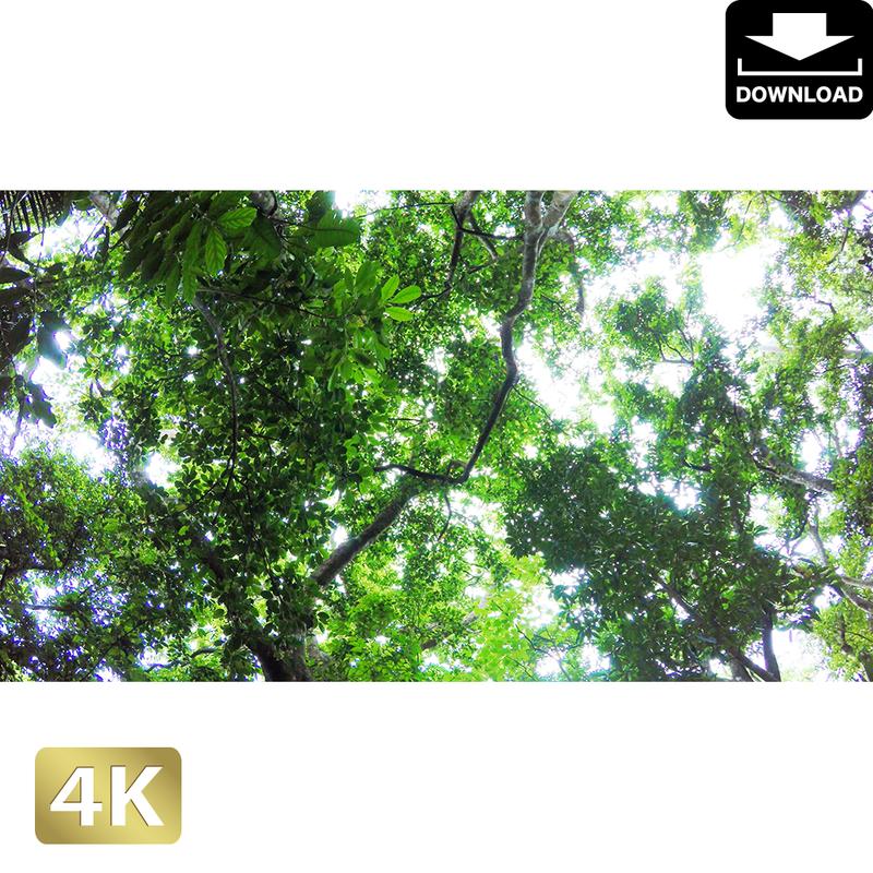 2022003 ■ 石垣島 大樹