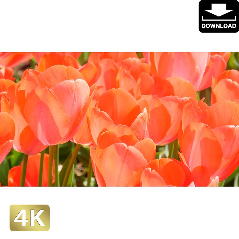 2020002 ■ 花畑 チューリップ
