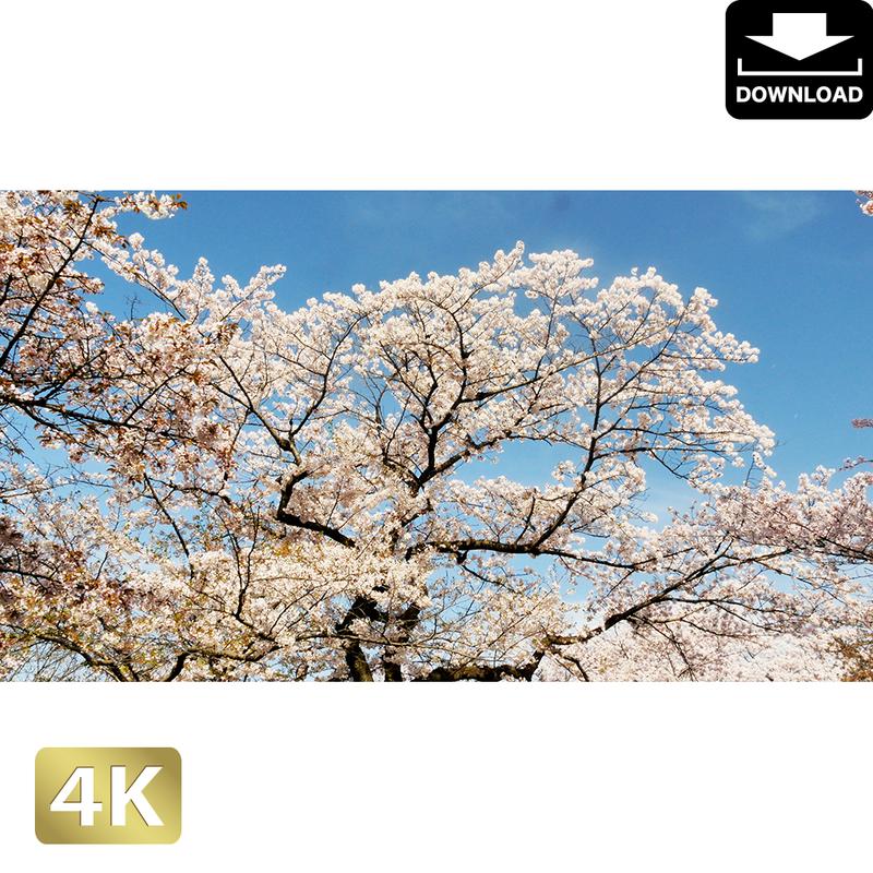 2020009 ■ 桜