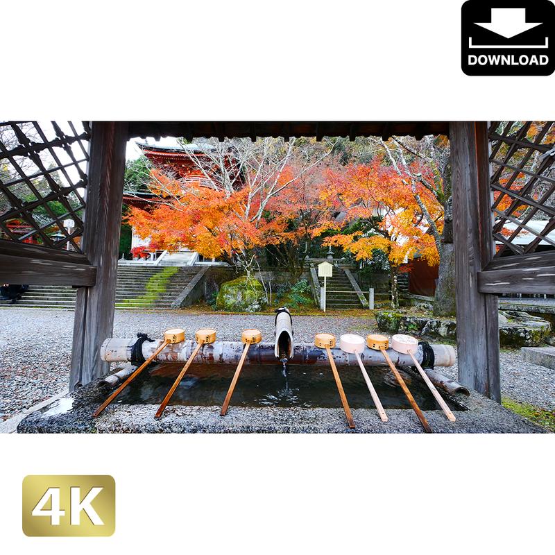 2043057 ■ 京都 東寺の紅葉