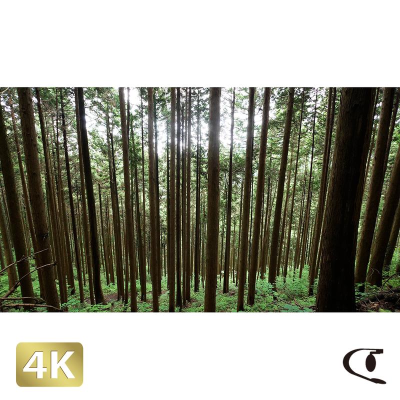 1037005 ■ 御岳山 杉林