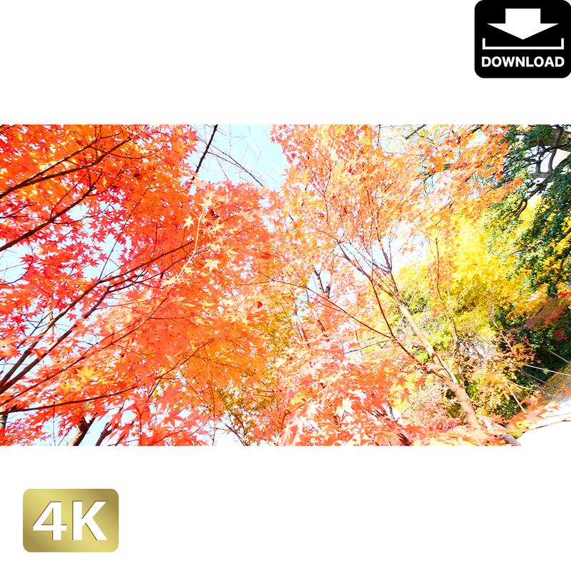 2043043 ■ 京都 東寺の紅葉